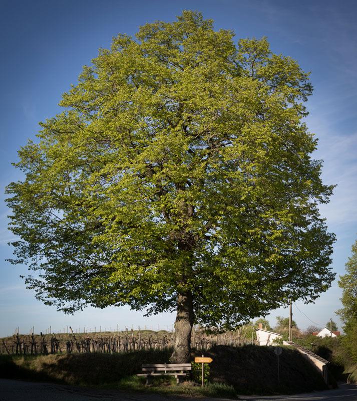 Baum Wegweiser